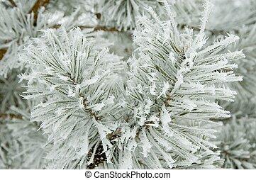 pinho, ramos, coberto, por, fresco, geada