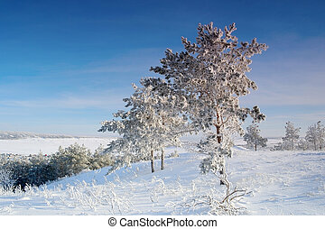 pinhos, coberto, paisagem inverno, neve