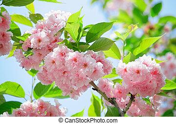 Pink abloom japanese cherry (sakura) blossom in sunny spring...