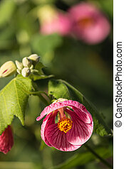 pink abutilon flowers in bloom