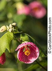 pink abutilon flowers in bloom