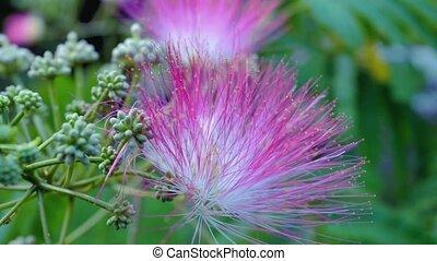 Pink acacia in the garden