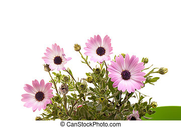 Pink African Daisies On White