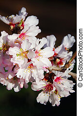 Pink almond blossom branch isolated on black