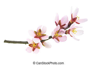 Pink almond blossoms on a branch in springtime isolated on white background