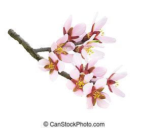 Pink almond flowers on a branch isolated over white background