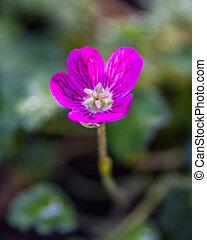 Pink Alpine Geranium close up flower in the garden outside