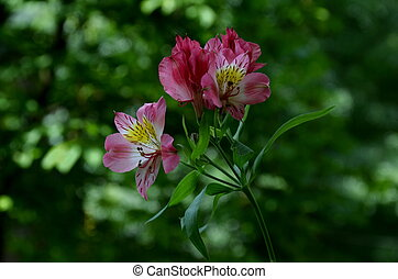Pink alstroemeria flowers in the green natural background