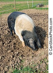 Pink and black pig