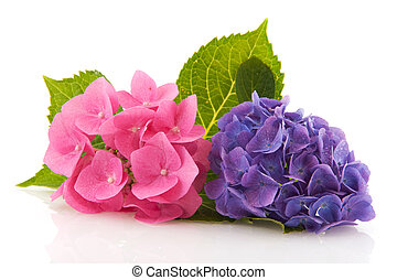 Pink and blue Hydrangea from the garden isolated over white