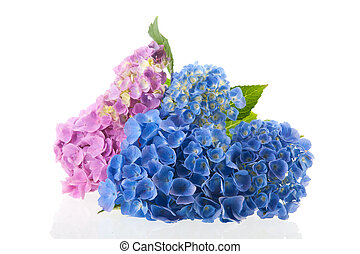 Pink and blue hydrangea isolated over white background