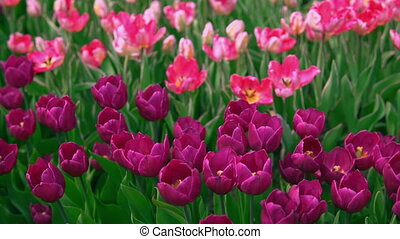 Botanical garden in springtime. Violet flowers on green stems background.