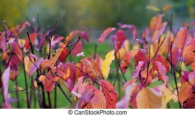 Pink and Purple leaves on branch move by the wind, autumn background natural, colorful leaves footage concept.