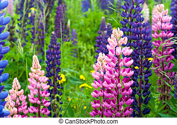 Pink and Purple Lupin in New Brunswick