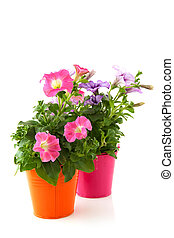 Petunia in colorful buckets