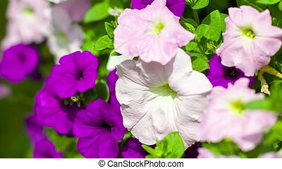 Pink and purple petunias in park shake on breeze