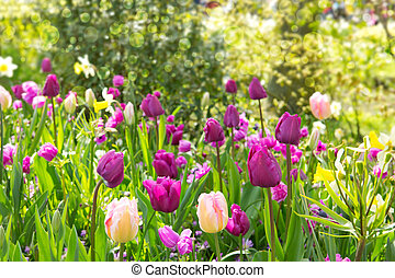 Pink and purple tulips background.