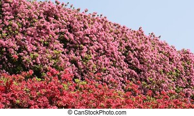 Pink and red azalea - Full blossoming pink and red azalea...