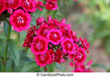 Pink and Red Phlox - Pink and red perennial phlox shot with ...
