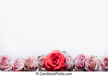 Pink and red roses buds on white background, top view. Valentines background