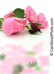 Pink and red roses,close up image