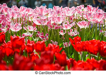 pink and red tulips in the garden