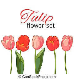 Pink and red tulips on white background. Vector illustration