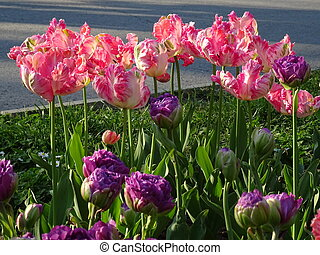 Pink and Violet Tulips in a Garden