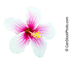 Pink and white hibiscus flower isolated