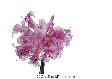 Pink and white lily bouquet closeup isolated on white