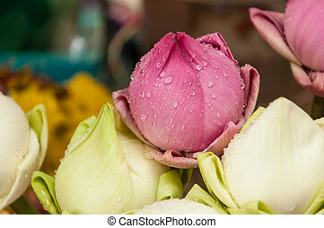 Pink and white lotus flower buds