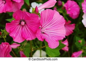 Pink and white malva flovers blossoming in the garden