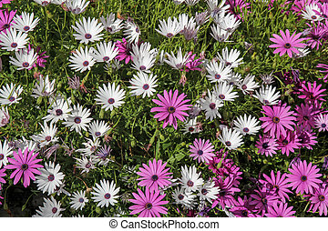 pink and white margaret flowers