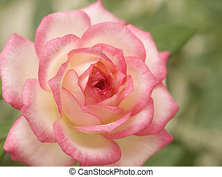 pink and white variegated miniature rose