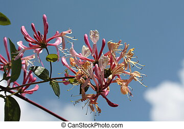 pink and yellow honeysuckle in a blue sky