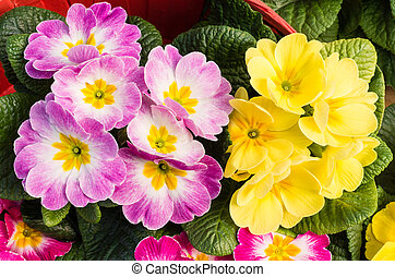 Pink and yellow primrose flowers - Pink and yellow blooming ...
