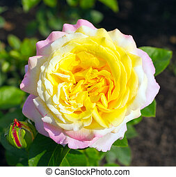 Pink and yellow rose flower