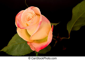 Pink and Yellow rose macro