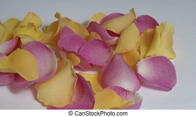 Pink and yellow rose petals turning