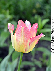 Pink and yellow tulip flower