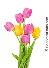 Pink and yellow tulip flower isolated on white background
