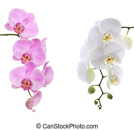 Pink ans white delicate orchid