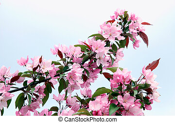 pink apple tree flowers in the spring