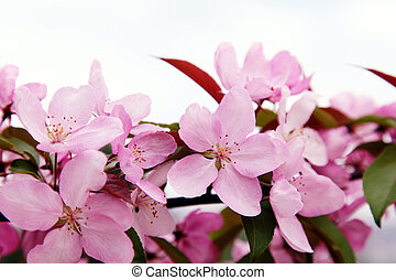 pink apple tree flowers in the spring, selective focus