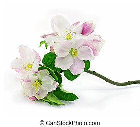 pink apple-tree flowers isolated with green leafs on branch