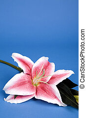 artificial lilly - pink artificial lilly flower on the blue ...