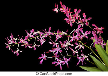 Ascofinetia Orchid