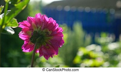 pink aster flower in the video yard - pink aster flower in...