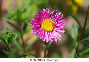 Pink aster flower is blooming in the garden