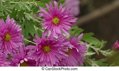 pink aster flower on a green background nature leaves